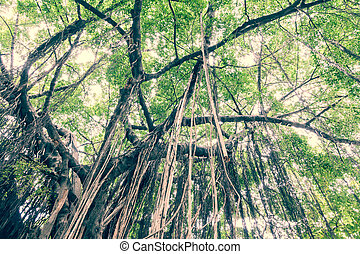 Branch of a banyan tree with long vine from top to ground