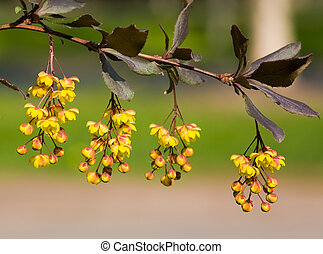 Branch of a barberry