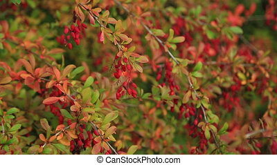 Branch of a barberry with clusters of berries, HD