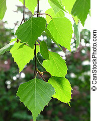 branch of a birch - branch of a spring birch tree with green...