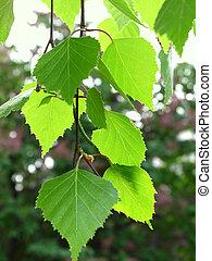 branch of a birch - branch of a spring birch tree with green...
