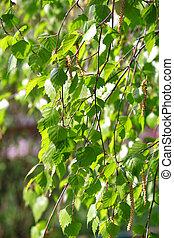 branch of a birch tree