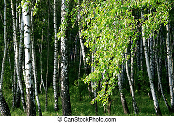 branch of a birch tree with young foliage