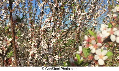 Branch of a blossoming almond tree on garden background