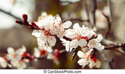 Branch of a blossoming apple tree with white flowers on a defocused background