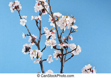branch of a blossoming apricot against the the sky