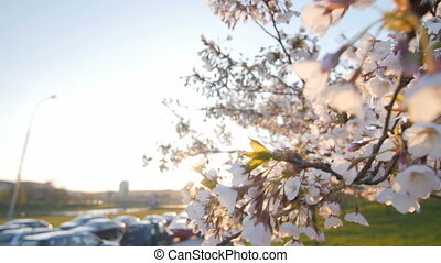 Branch of a blossoming cherry tree. Shallow depth of field. Cars in the background.