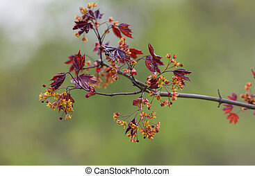 branch of a blossoming maple in the spring (Acer platanoides)