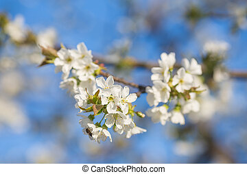 Branch of a blossoming tree with white flowers