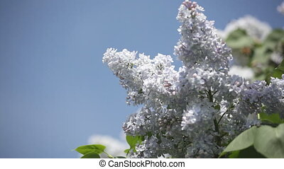 Branch of a blue lilac against the blue sky