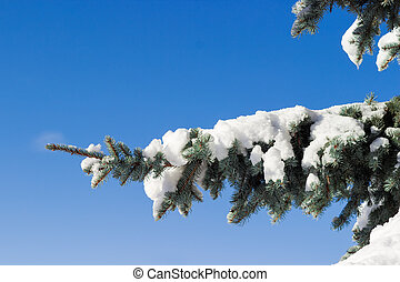 Branch of a blue spruce covered with snow closeup