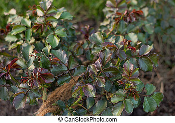 Branch of a bush of decorative rose with growing green leaves