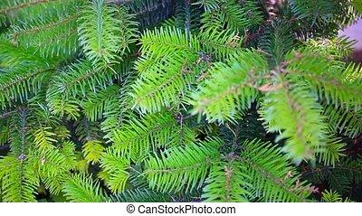 Branch of a coniferous tree. HD. 1920x1080