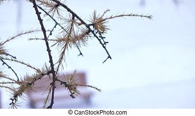 Branch of a coniferous tree in winter - Going snow and a...