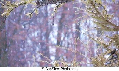 Branch of a coniferous tree in winter