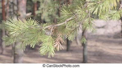 branch of a coniferous tree swaying in the wind