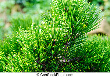 Branch of a coniferous tree with long needles in shadow
