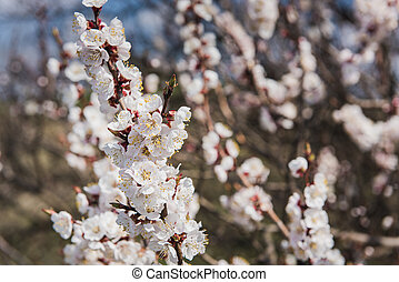 Branch of a flowering apricot.