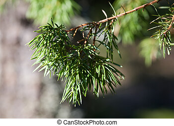 Branch of a juniper