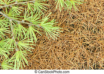Branch of a larch on a background of dry needles
