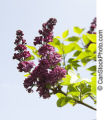 branch of a lilac bush in spring