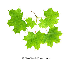 Branch of a maple with leaves on a white background isolated