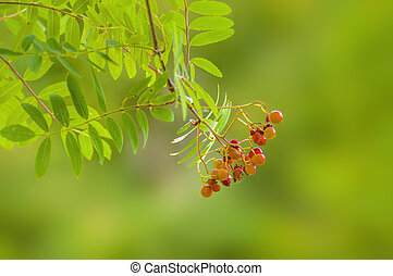 branch of a mountain ash with rowan berries