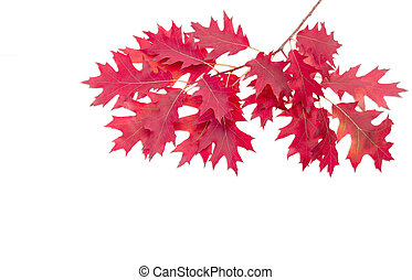Branch of a oak with autumn leaves on light background