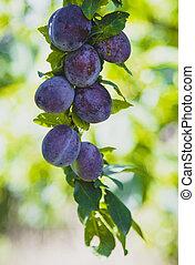 Branch of a plum