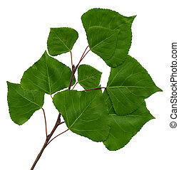 branch of a poplar - Green branch of a poplar on the...