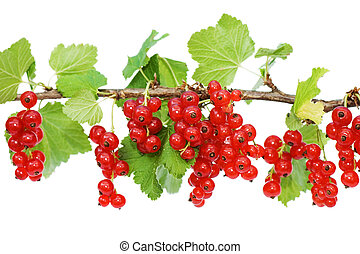 Branch of a red currant isolated on white background