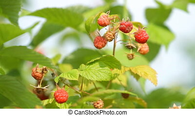 Branch of a red raspberry in sunny day