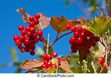 Branch of a ripe guelder-rose