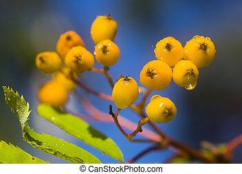 Branch of a ripening rowan-tree