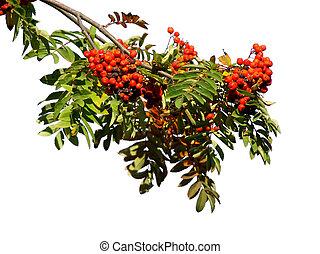Branch of a rowan