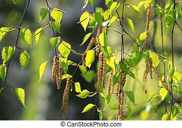 Branch of a spring birch tree