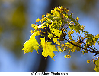 branch of a spring maple
