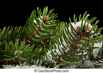 branch of a tree in the snow on a black background close-up