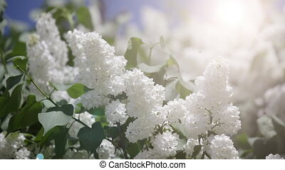 Branch of a white lilac waves on a wind