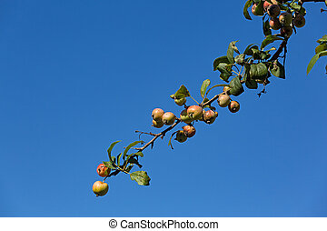 Branch of a wild apple tree against blue sky