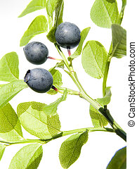 wild bilberry - Branch of a wild bilberry