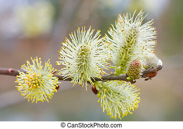 Branch of a willow against the brown background