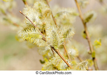 Branch of a willow