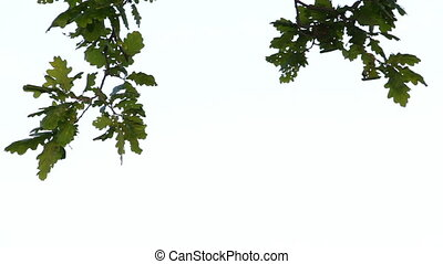 Branch of an oak tree with green leaves