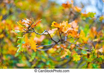branch of an oak tree with yellow autumn leaves