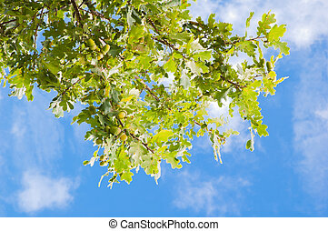 Branch of an oak with acorns against the sky