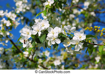 Branch of apple blossoms and a bee