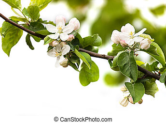 branch of apple blossoms on a white background