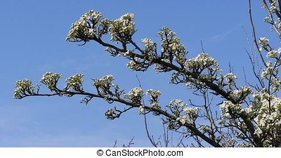 Branch of Apple Tree in Flowers, Normandy, Real Time