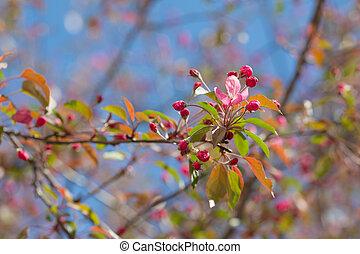 branch of apple tree in spring